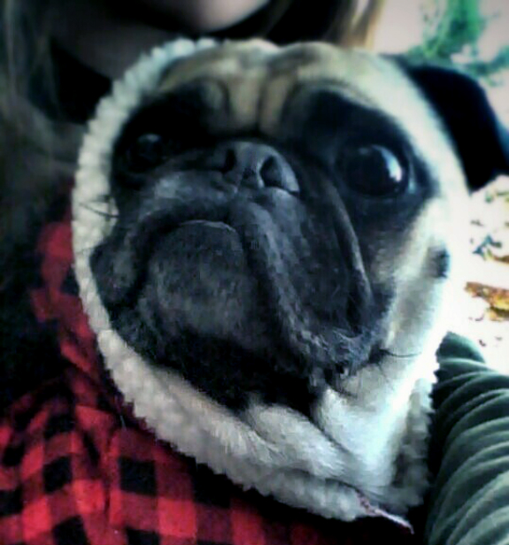 Pug in a sweater