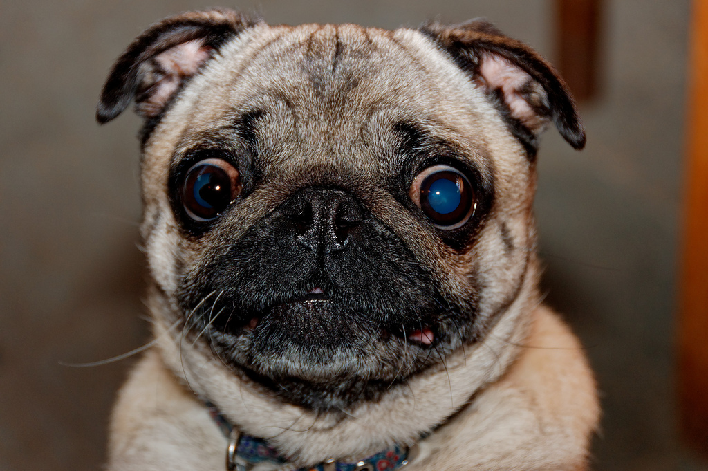 Bug eyed pug - scary dogs, ugly dogs