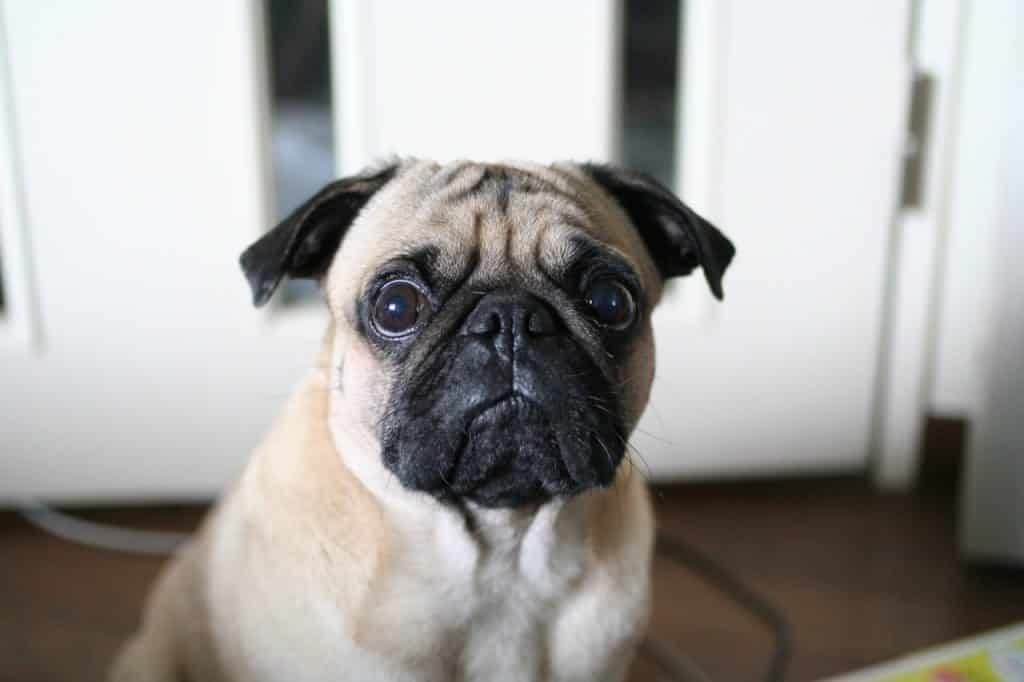Scared pug - common dog fears