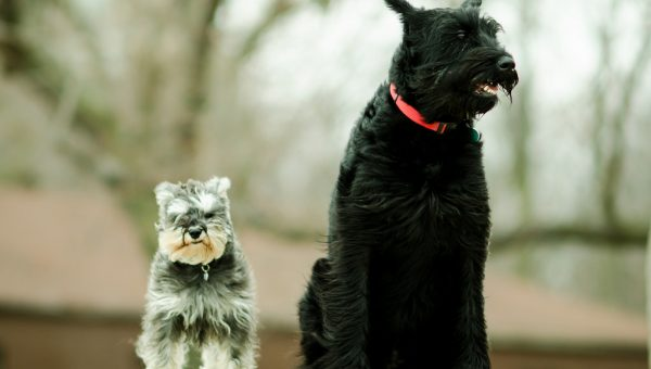 Quiz: How Well Do You Know Schnauzers?