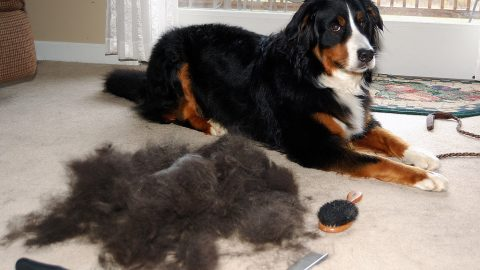Dog sitting next to a bunch of shed fur.
