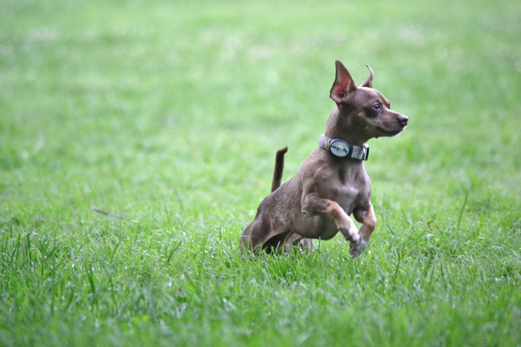 Small dog in the grass - best dog parks in San Antonio