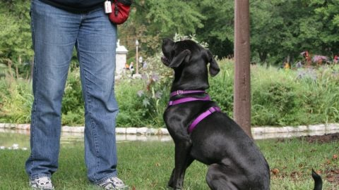 Dog practices sitting - territorial dog training tips