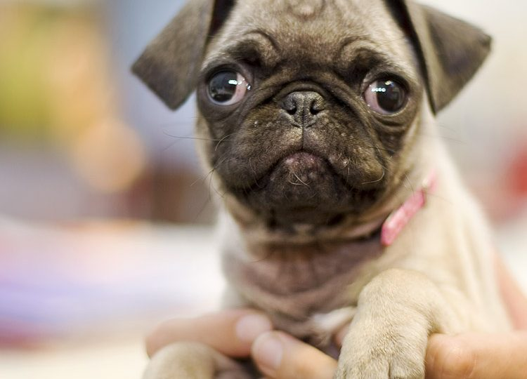 tiny paws pug rescue toy sized dogs for adoption wow blog 5855