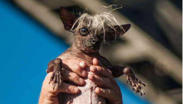 POLL: So Ugly They're Cute? Rate These 8 Dog Breeds