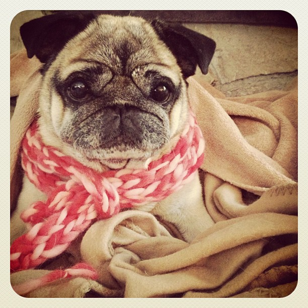 Pug in a scarf