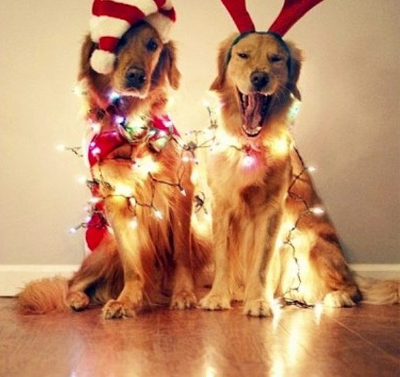 christmas golden retrievers