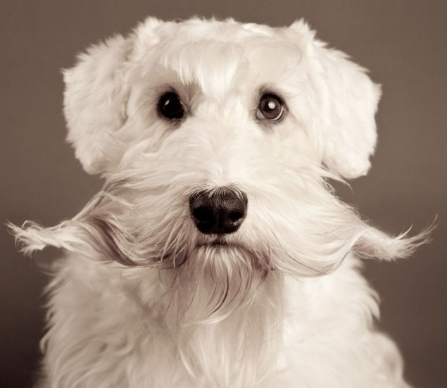 coco-the-sealyham-terrier
