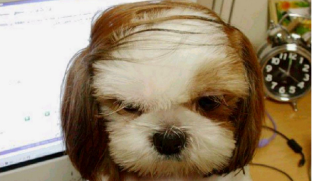 combover dog fashion