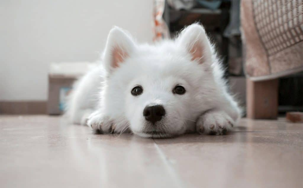 Closeup of small white dog lying on floor