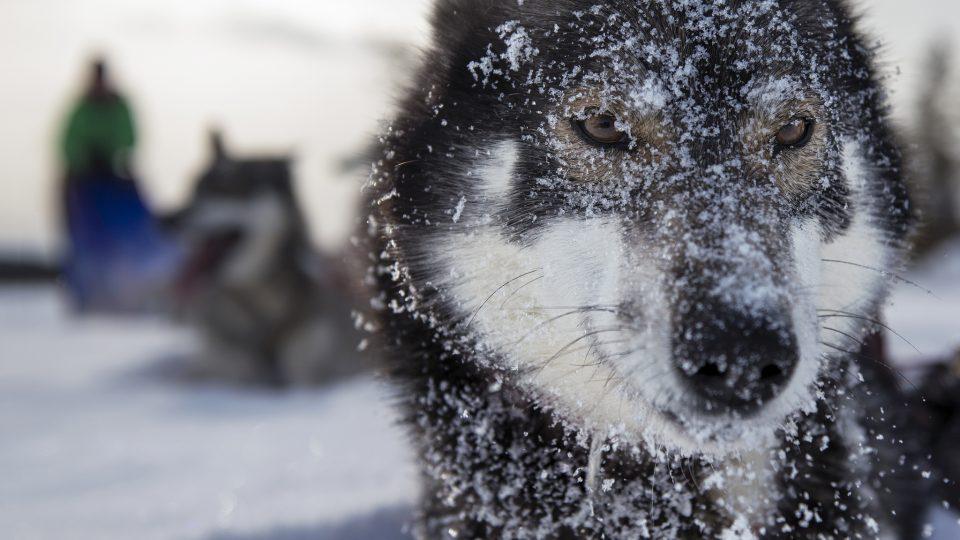 Husky dog in the snow