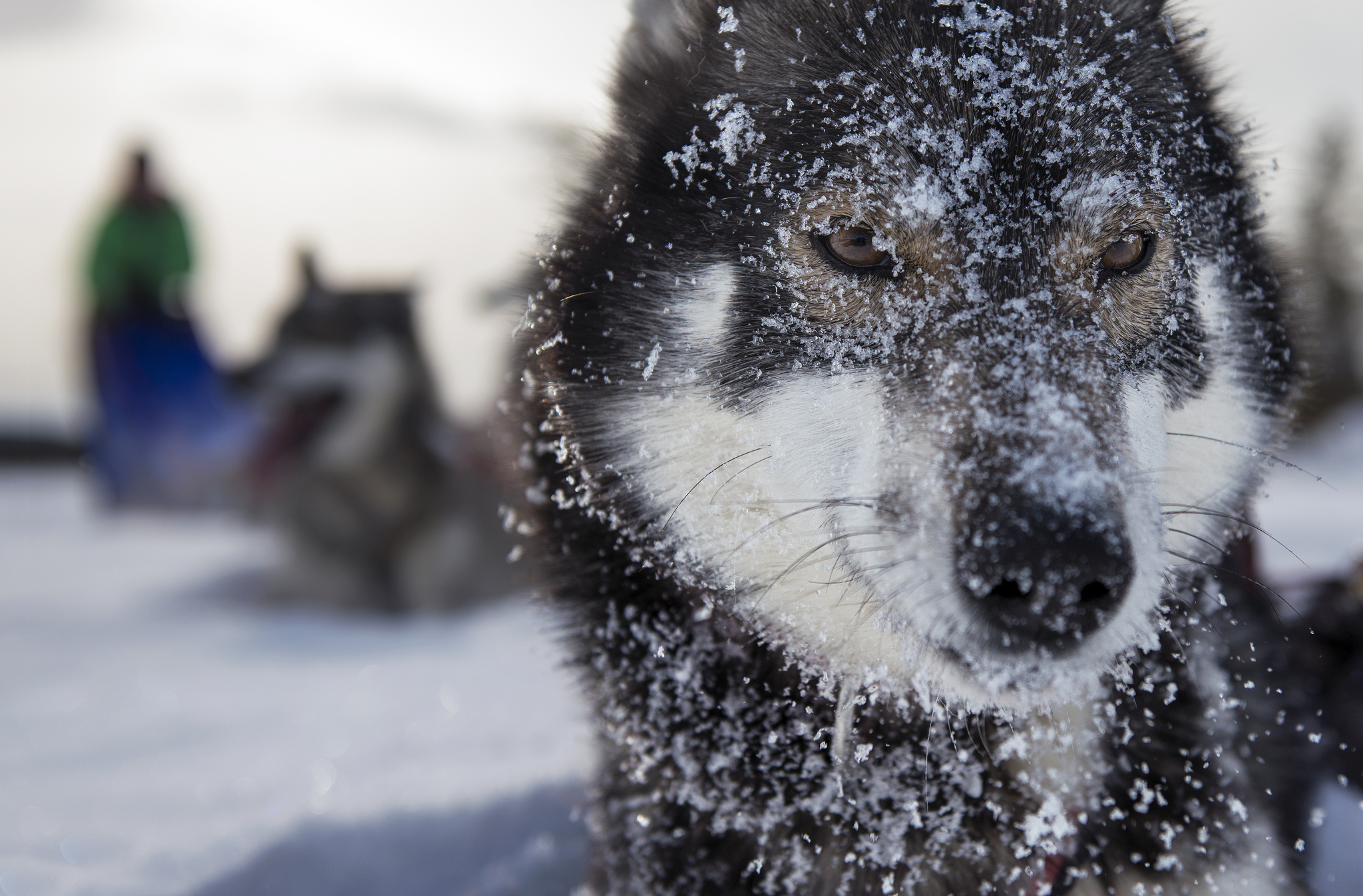 Husky Names The Best 101 Names For Huskies In 2019