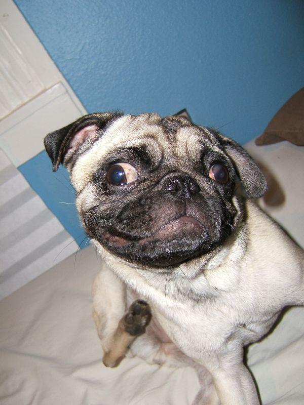 Pug scratching - super flea