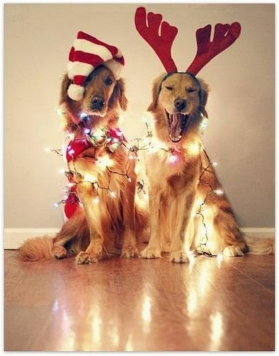 Golden Retriever christmas dogs