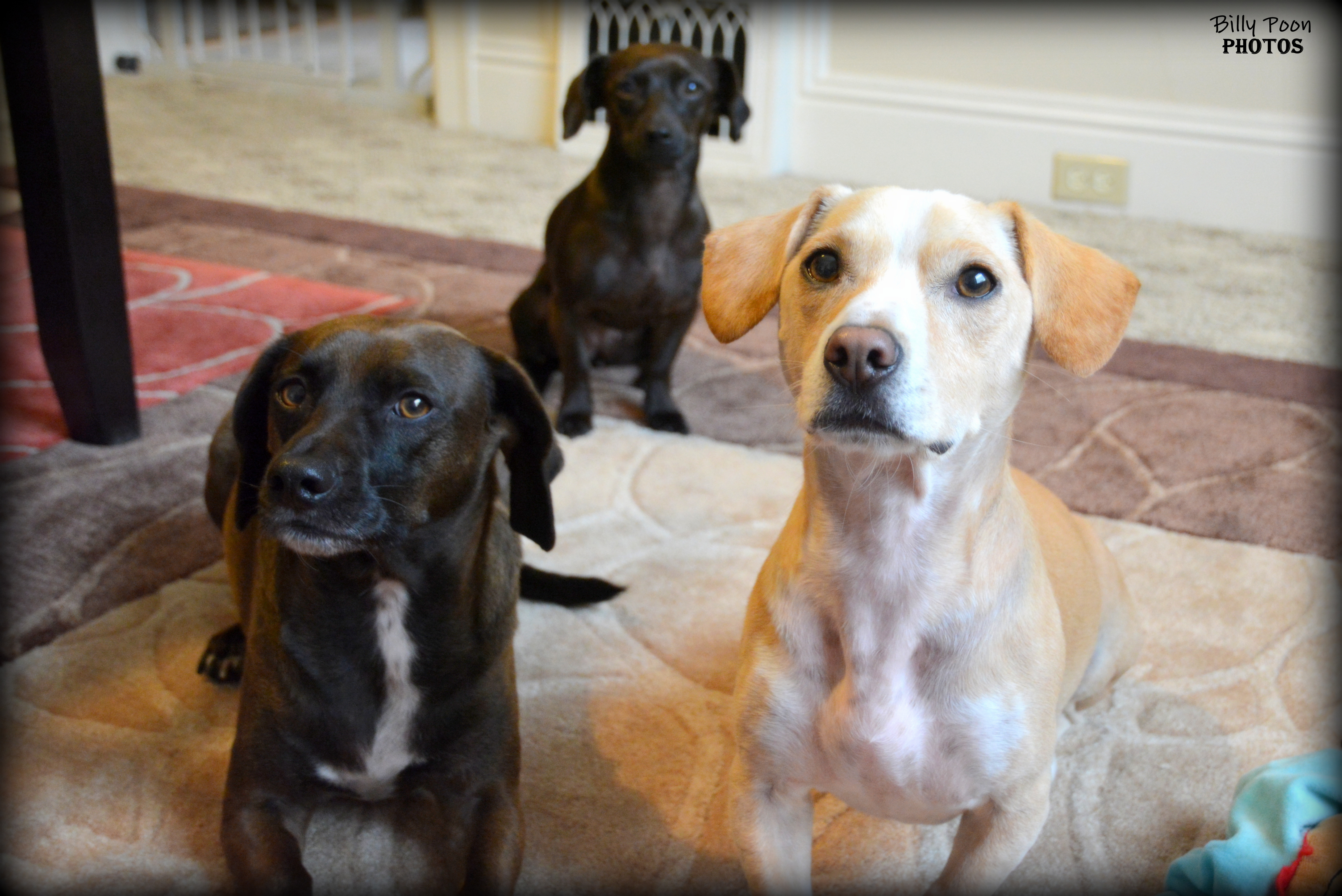 Chinese dog herbal therapy - How To Add A New Pet Sibling To Your Pack