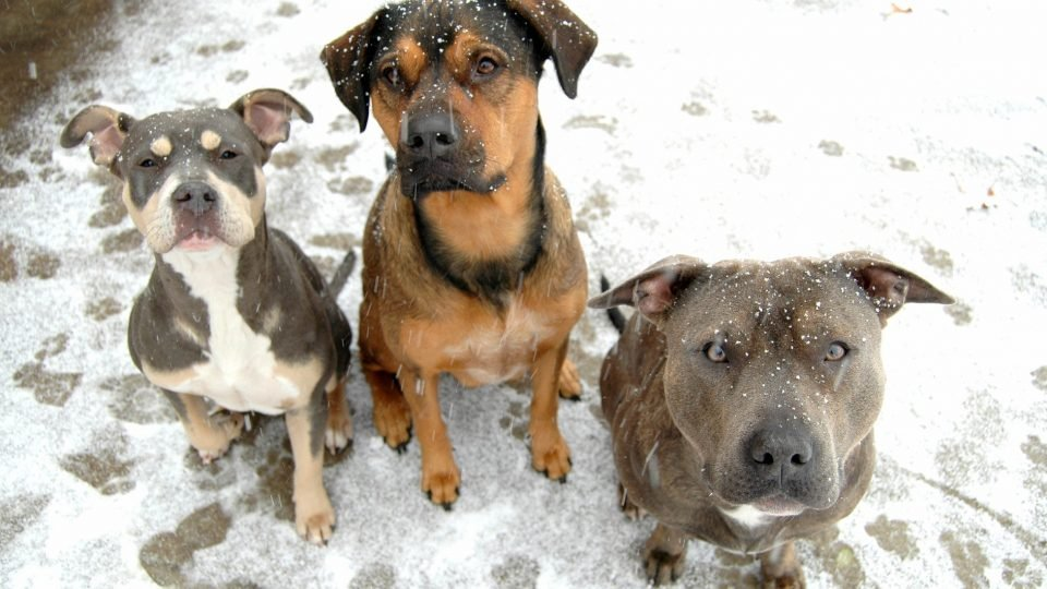Three snow dogs - dog CPR and winter safety