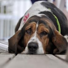 Tired dog - heat stroke in dogs