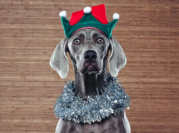 Holiday Weimaraner Dog