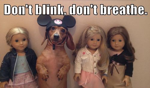 blending in dachshund