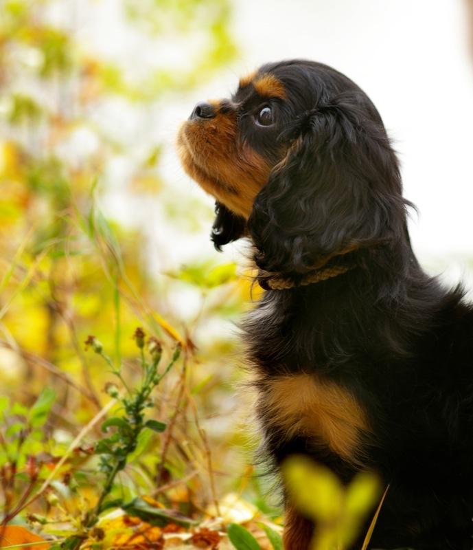 cavalier king charles spaniel hobbit dogs