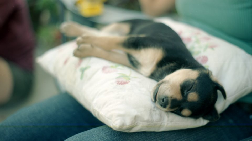 Doberman puppy on a pillow - doberman personality