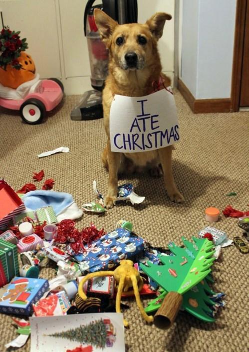 dog ate christmas