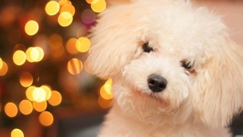 Holiday hazards for dogs - dog with holiday lights