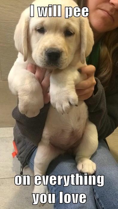 revenge puppy labrador
