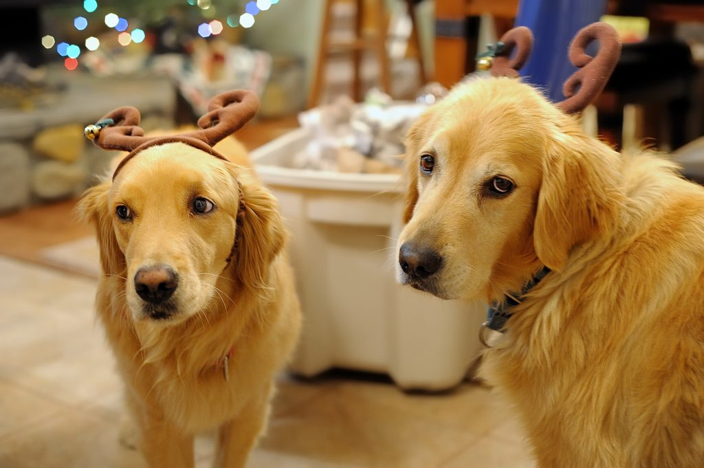 Holiday dogs in reindeer antlers