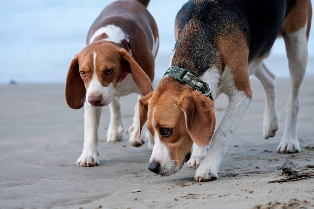 beagle en train de renifler le sable