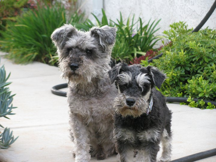 resolution-schnauzers