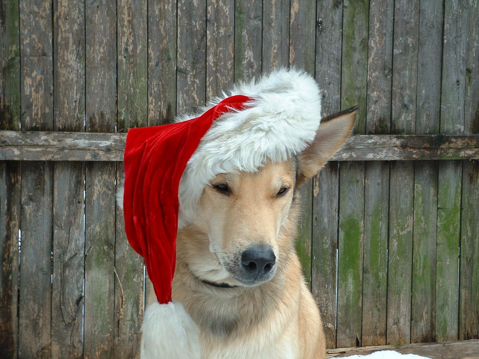 Dog in a Santa hat - dog friendly Boston holiday events