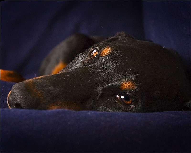 Sleepy doberman personality