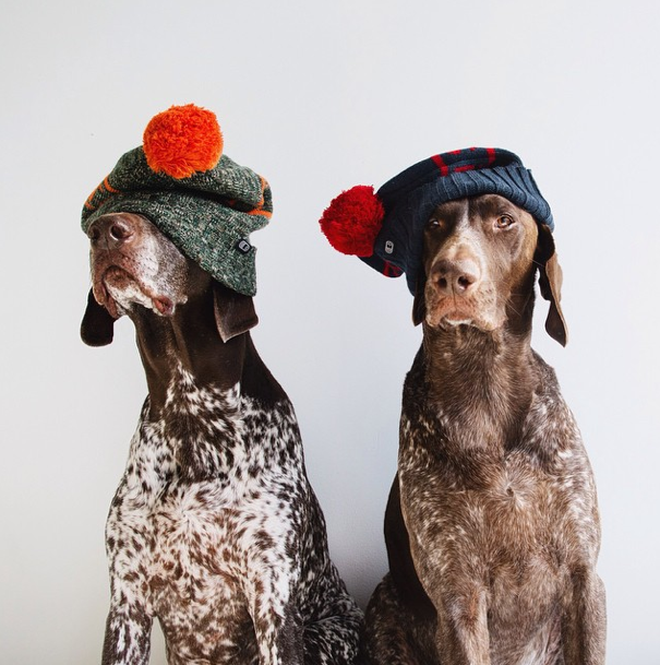 The Pointer Brothers - Instagram famous dogs