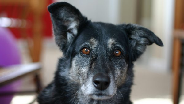 5 Reasons Adopting a Senior Dog Could Make Your Life Better