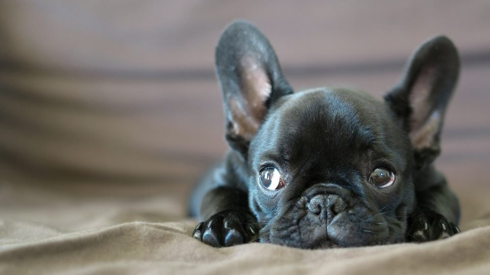 11 french bulldogs freaking the eff out the dog people by rover com