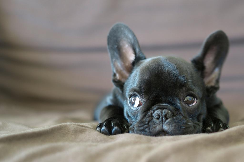 Resultado de imagen para french bulldog sniff