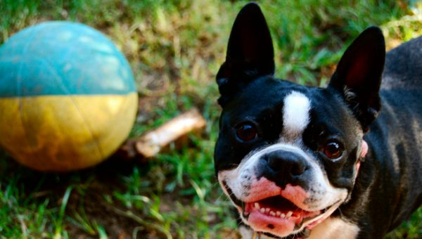 Quiz: How Well Do You Know Boston Terriers?