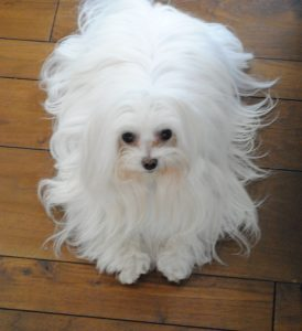 Maltese with long hair