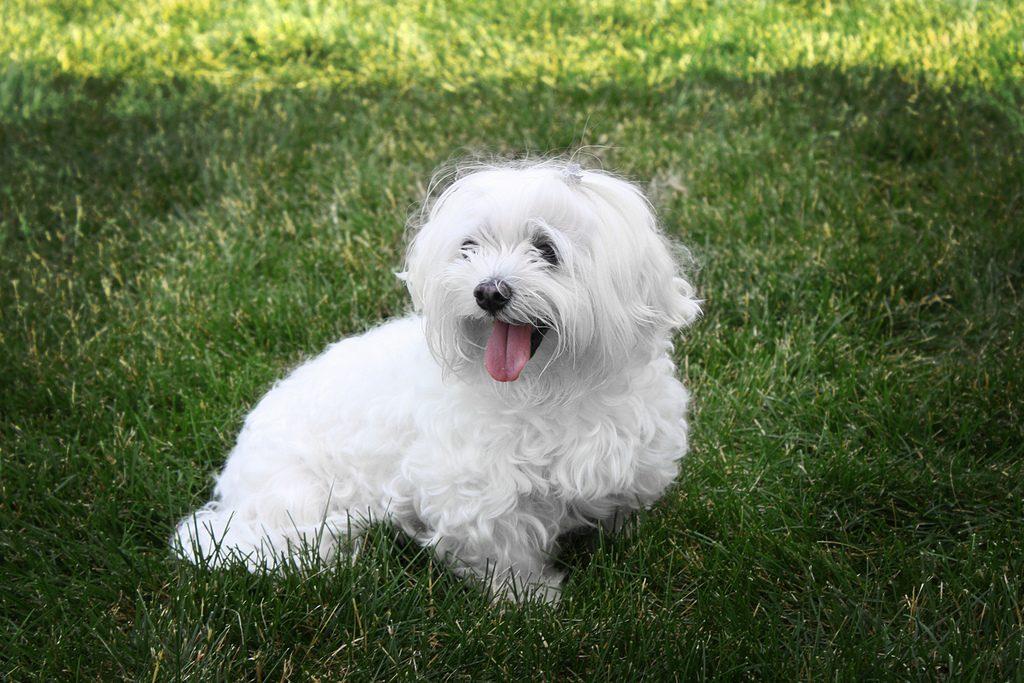 Maltese in the grass
