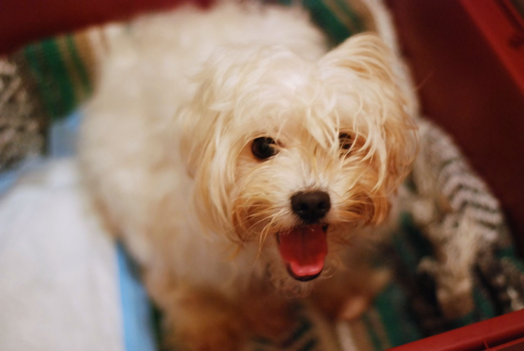 Everything You Need to Know About the Maltese | Rover Blog  Everything You ...
