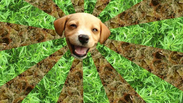 Can Marijuana Edibles Help Sickly Dogs?