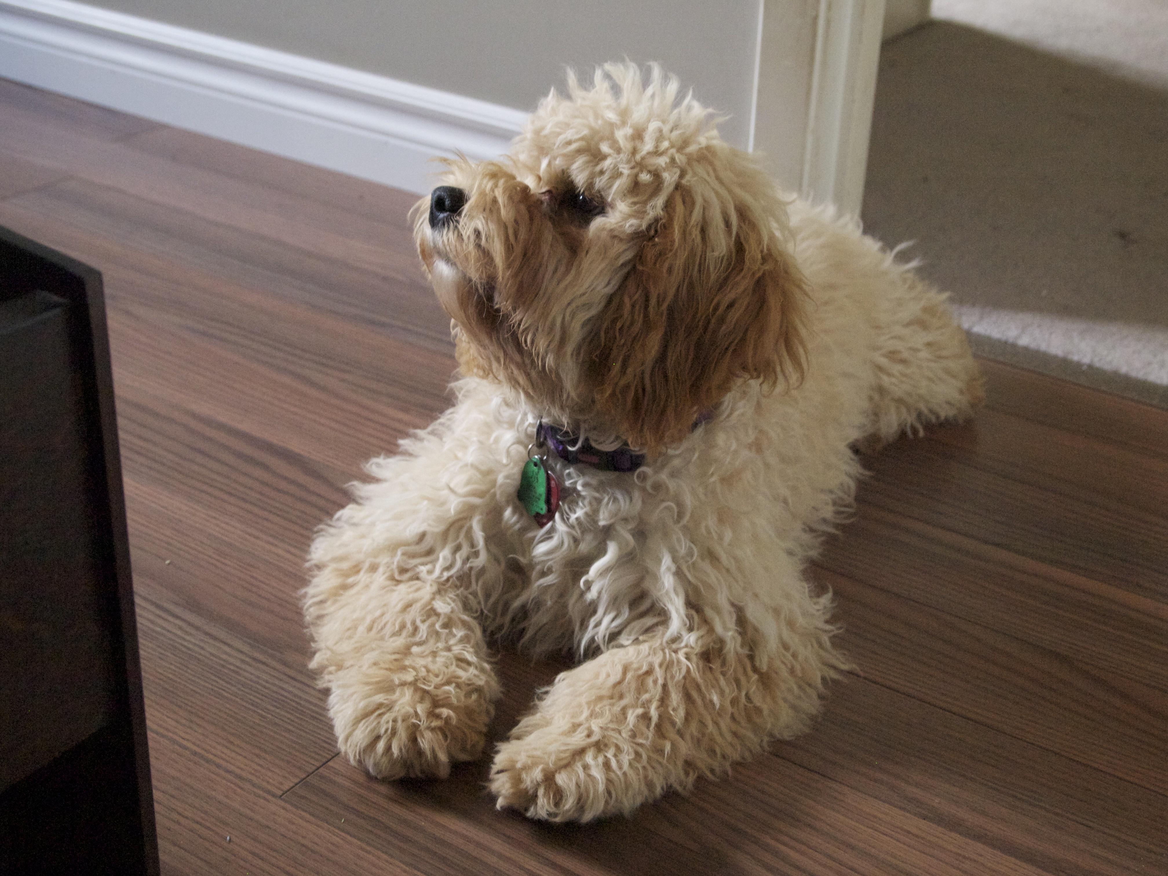 11 of today s top designer dog breeds rover blog