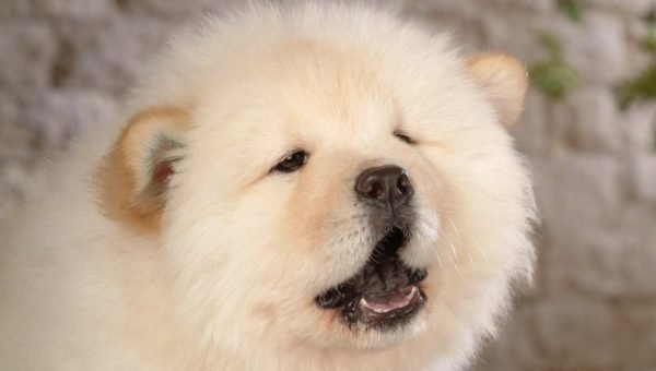 Chow Chow Puppies: The Ultimate Guide for New Dog Owners