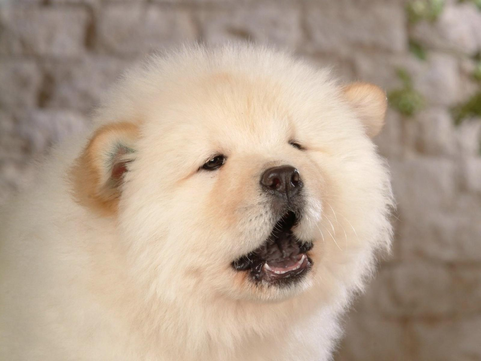 Popular Cub Chubby Adorable Dog - chow-chow-roar  Perfect Image Reference_656698  .jpg