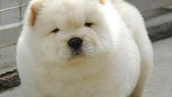10 Dogs That Look Like Polar Bear Cubs