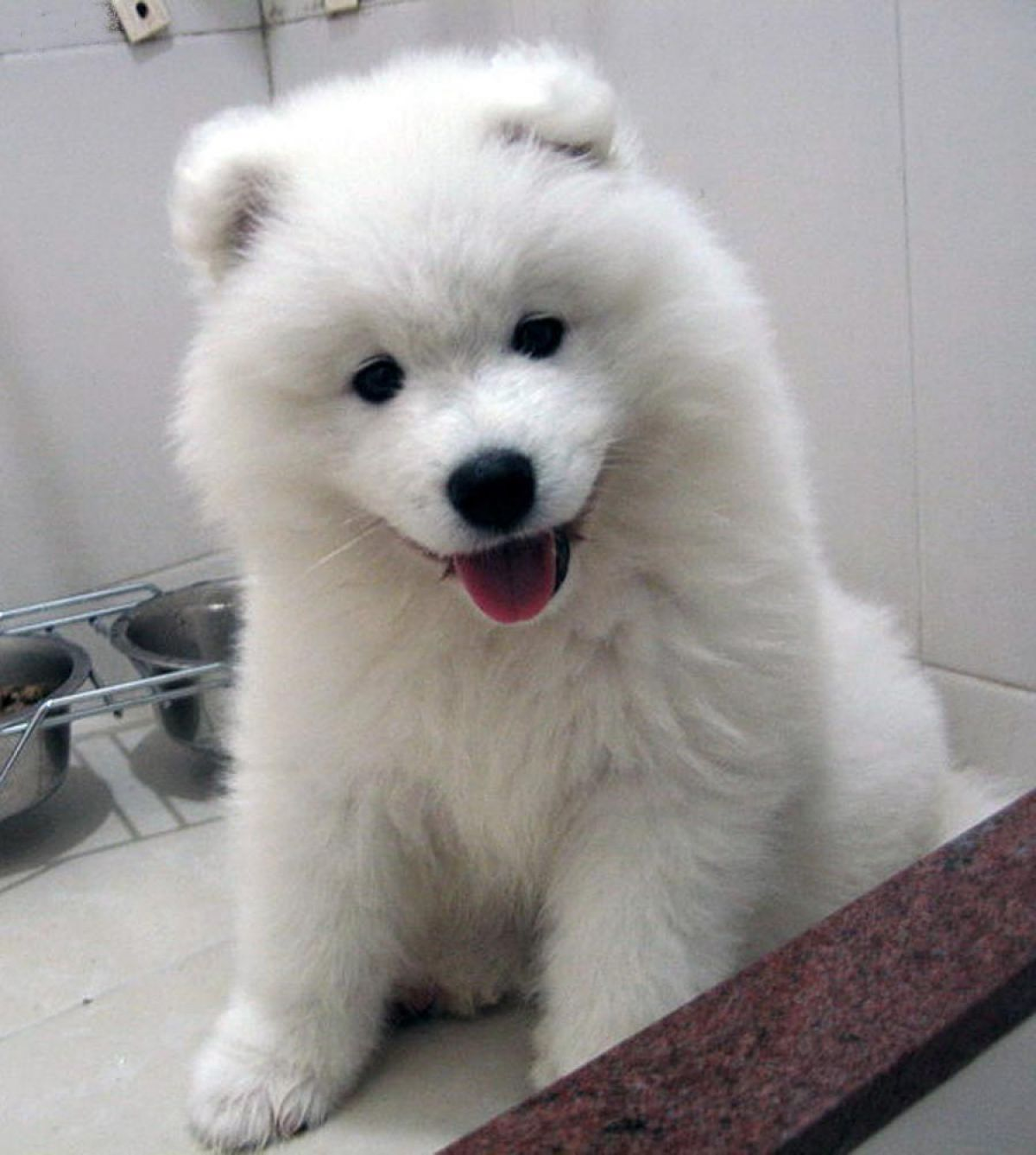 10 dogs that look like polar bear cubs the dog people by for Fluffy little dog breeds
