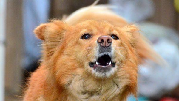 7 Hilarious Singing Dogs (Give These Pets a Grammy Already!)