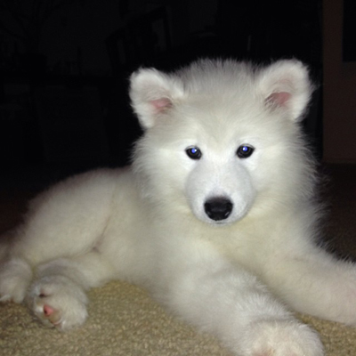 Extra Fluffy Klee Kai Puppy