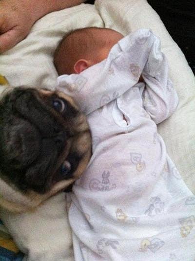 pug mug baby photobomb